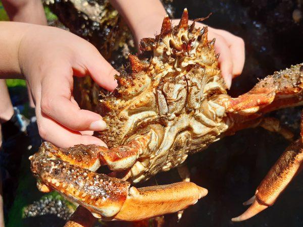 spider crab underside