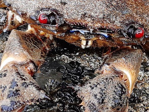 velvet swimming crab