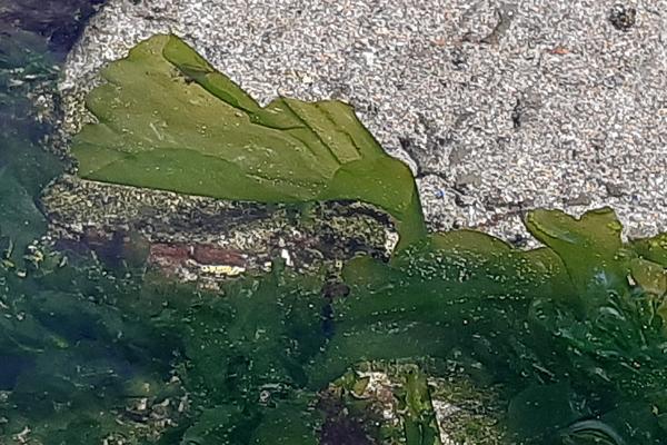 rockpool seaweeds sea lettuce