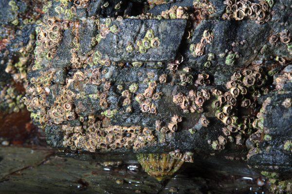 various acorn barnacles