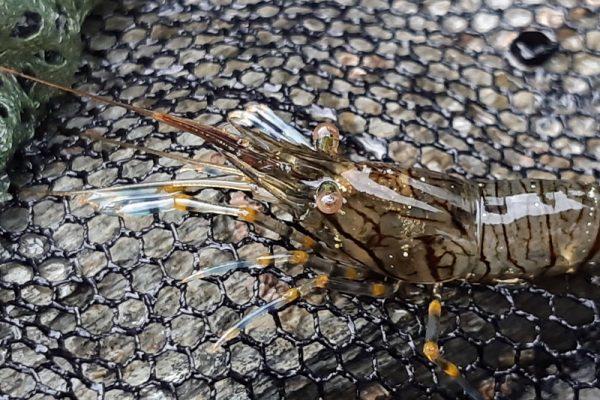 common prawn
