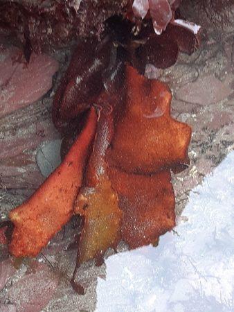 portwrinkle seaweed