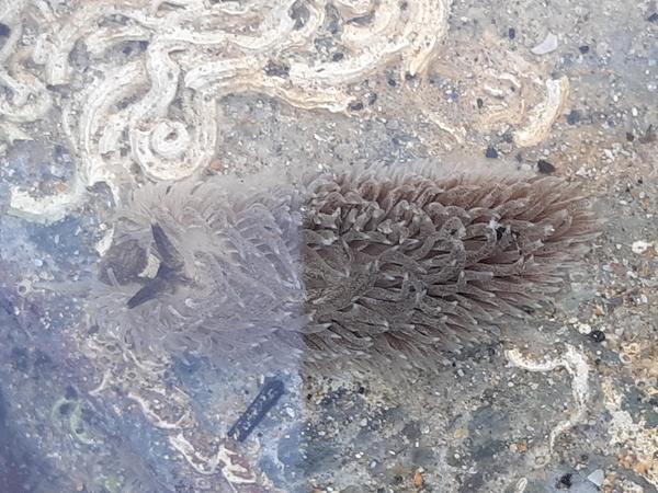 common grey sea slug
