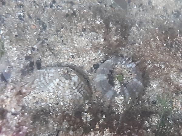 juvenile anenomes