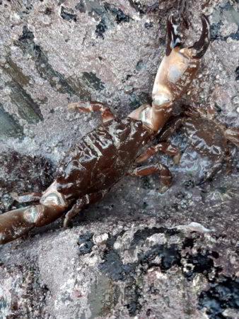 montagu's crab