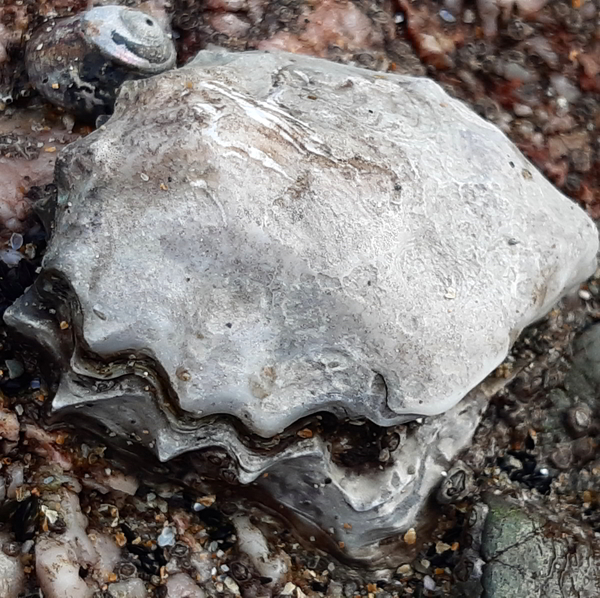 heavily eroded oyster