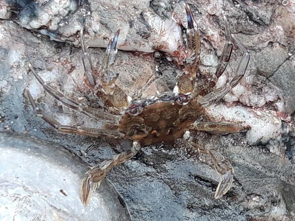 juvenile velvet swimming crab