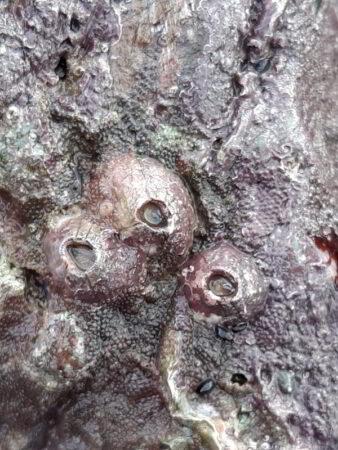 volcano barnacles