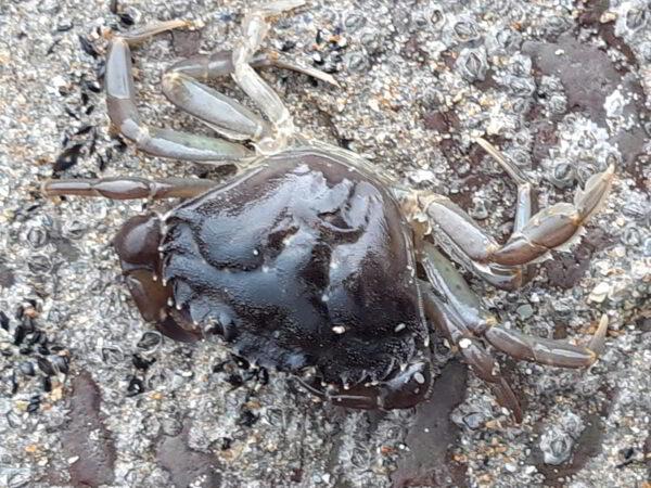 shore crab carcinus maenas
